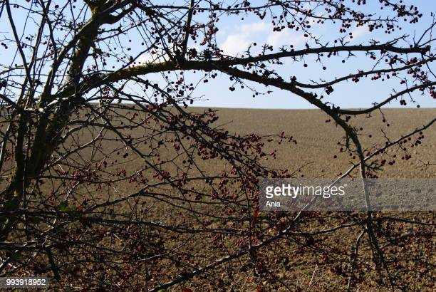 sony dsc - mulberry tree stock pictures, royalty-free photos & images