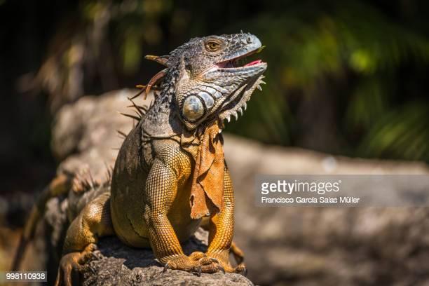 mg - iguana imagens e fotografias de stock