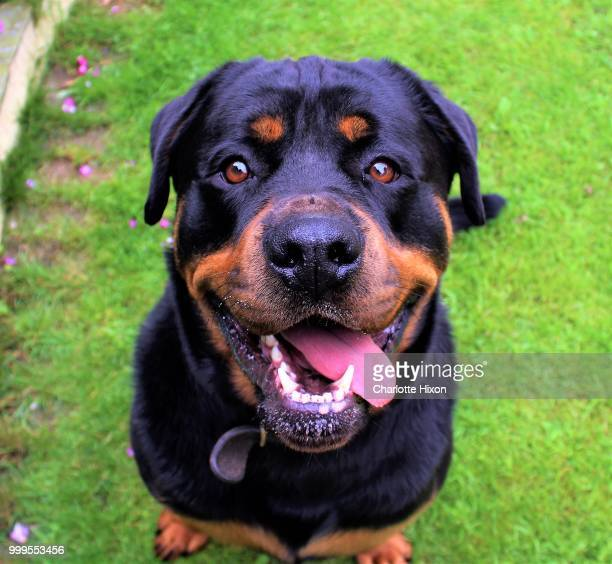 img - rottweiler stock photos and pictures