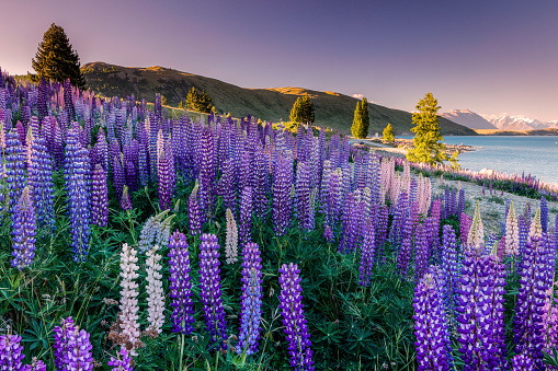 LUPINS AT LAKE TEKAPO, CANTERBURY, NEW ZEALAND. - gettyimageskorea