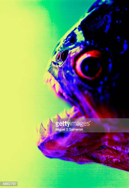 PIRANHA WITH MOUTH OPEN