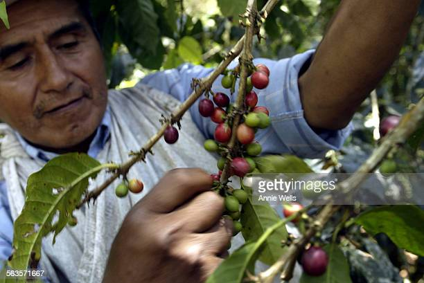 FI1021bolivia Lorenzo Choque picks coffee 'cherries' on his Yungas Valley coffee farm Story is about the international coffee glut and how Bolivian...