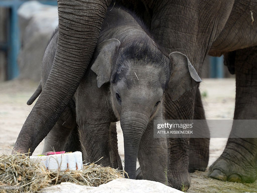 HUNGARY-FRANCE-ANIMALS-ELEPHANT : News Photo