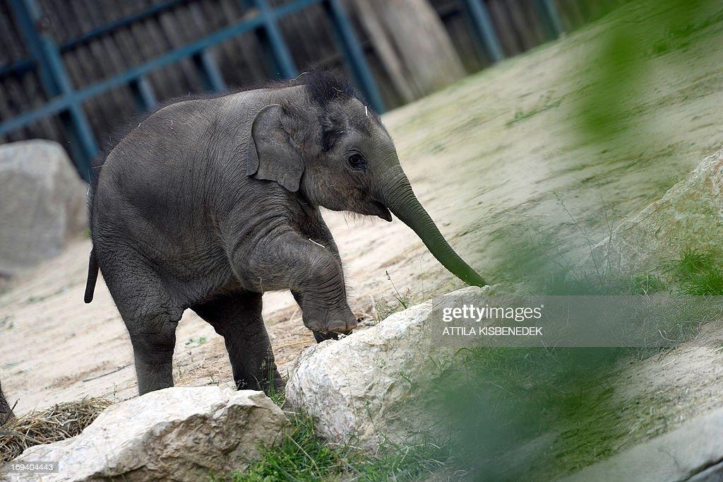 HUNGARY-FRANCE-ANIMALS-ELEPHANT : ニュース写真