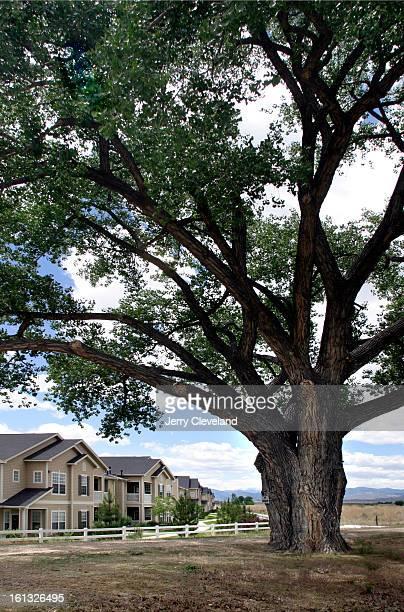 LOVELAND COLO JUNE 11 2004 A 100yearold cottonwood tree planted on the original landgrant farm stands near Eagle Ridge Apartments in Centerra <cq> a...