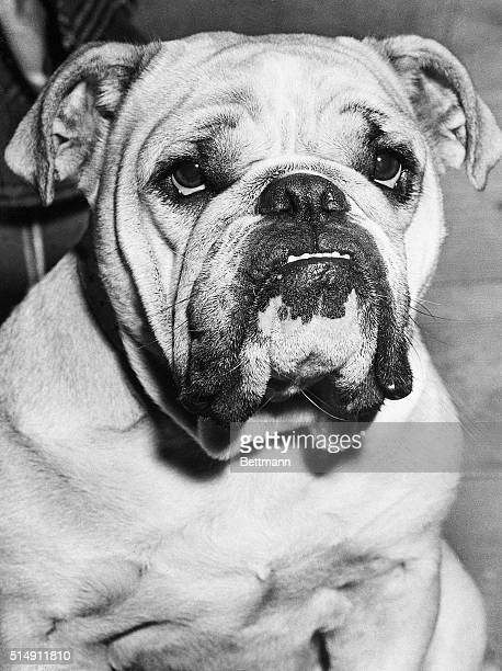 London, England- The bulldog spirit, known all over the world as the symbol of determination of Britons, is reflected in the face of this Londoner....