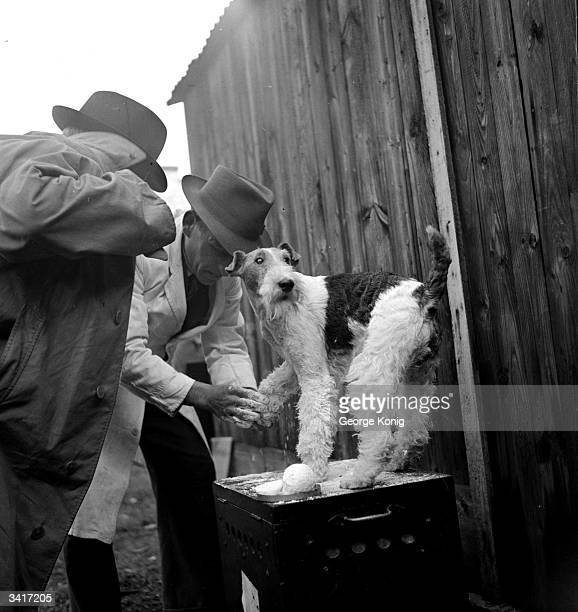 A wirehaired fox terrier being given a final groom before being entered into a dog show Original Publication Picture Post 4542 The Work Of A Dog...