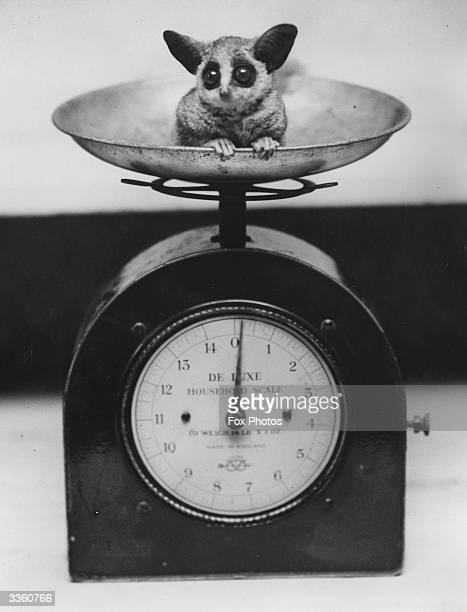 A baby bushbaby in a set of scales at London Zoo shortly after birth