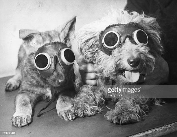 Pups at the Canine Defence League Clinic in Camberwell London receive treatment with sunray lamps for rickets and a leg injury