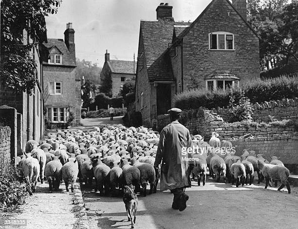 A shepherd herding his sheep through the picturesque Cotswold village of Oxbury for shearing for home wool production
