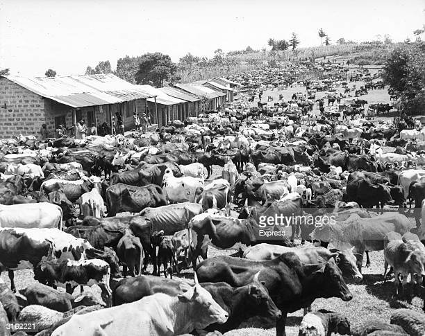 A round up of Kikuyu cattle at Nyeri during the Mau Mau Rebellion in Kenya The Kikuyu were the prime movers in the revolt against British rule