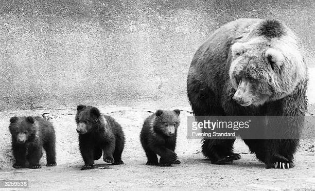 Wilma a female Kodiak bear with her three fourmonthold cubs Barnaby Betsy and Babs at Whipsnade Zoo