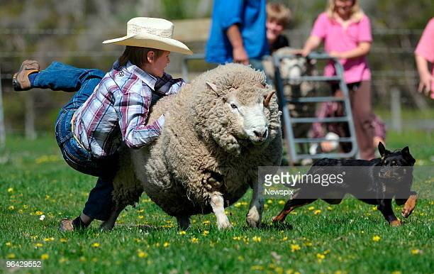 Year-old Jacob Macphail rounds up a ram with the help of 'Pinky' the 5-month-old Kelpie at the farm of Paul Macphail in Welshpool, Victoria, during...