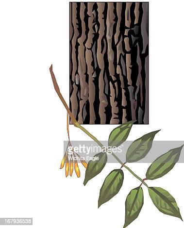 11p x 14p Randy Stephenson color illustration of white ash tree bark