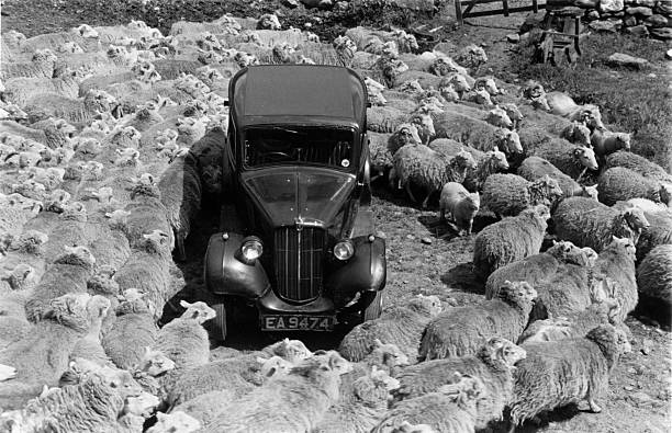 A flock of sheep manoeuvre their way around a parked...
