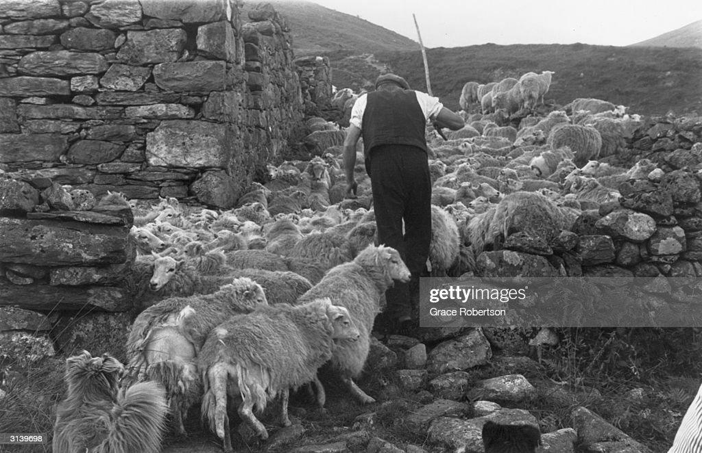 Snowdonia Shepherd : News Photo