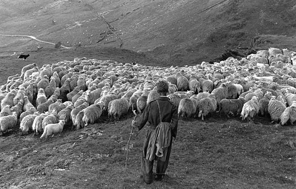 Snowdonia sheep farmer, Pyrs Williams, with his flock,...