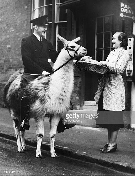 A keeper from a llama breeding farm in Ampthill near Bedford exercising one of the animals