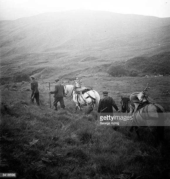 Deerstalkers making their way home in the Highlands leading ponies carrying carcasses of the deer they have shot Deerstalking is a popular sport in...