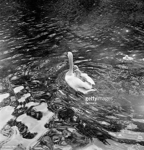 12/4/1950Annecy France Indoctrinated early into the art of freeloading three young cygnets embark on a voyage on their mother swan's back This means...