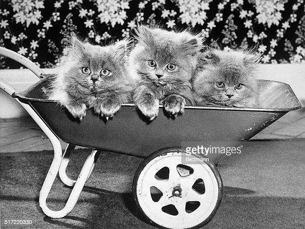 Belvedere, Kent, England- This is the only way to travel, say three Blue Persian kittens riding a wheelbarrow in Belvedere, Kent. The trio will soon...