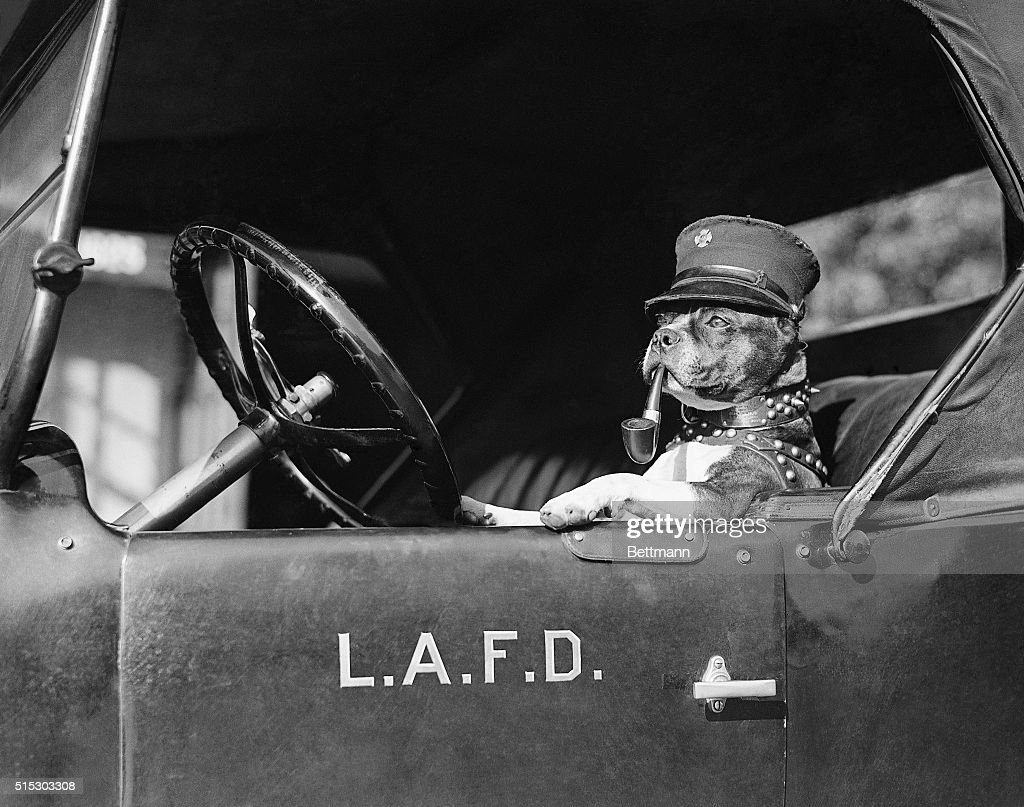 Los Angeles, CA- 'Jiggs,' the pet fire dog of the Hollywood Fire Department, is shown ready at the wheel to answer an alarm. 'Jiggs' is an all around fireman; he smokes a pipe, climbs a ladder, and locates the hose hydrants.