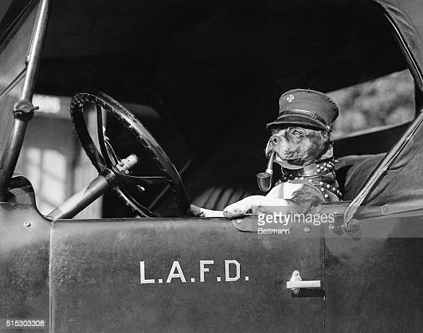 1/29/1924Los Angeles CA 'Jiggs' the pet fire dog of the Hollywood Fire Department is shown ready at the wheel to answer an alarm 'Jiggs' is an all...