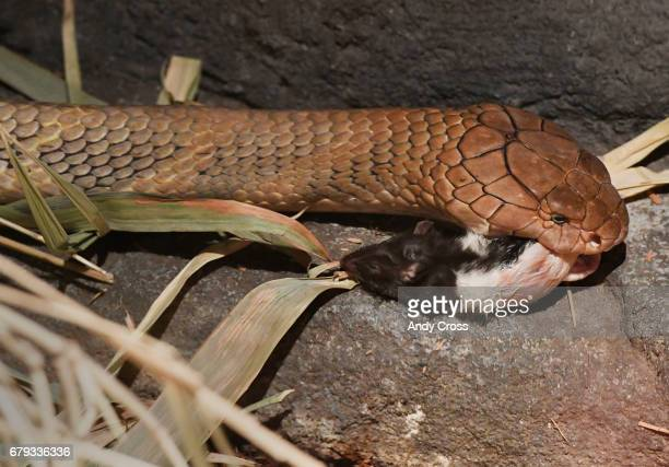 A 12foot 17yearold King Cobra snake enters it's habitat with a dead rat in it's mouth May 4 2017 in Denver Colorado The cobra has lymphosarcoma...