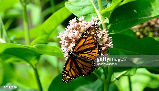 12th 2012.pics of Monarch butterfly on common milkweed plant. Horticulturalist Colleen Cirillo of the Toronto and Region Conservation Autority takes...