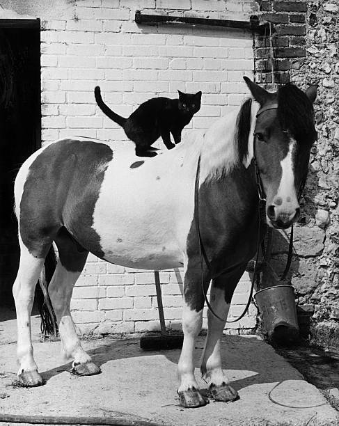 A black cat and a skewbald pony in the stable yard...