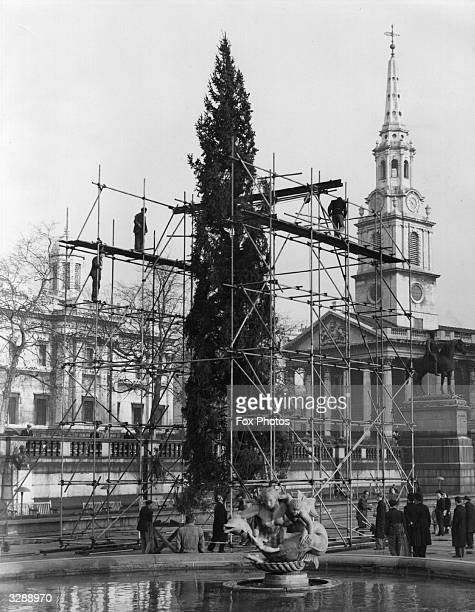 Men erecting the Christmas tree at Trafalgar Square a gift from the people of Norway to the people of London This gift is sent every year The church...