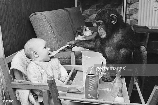 baby chimpanzees hurt and wounded