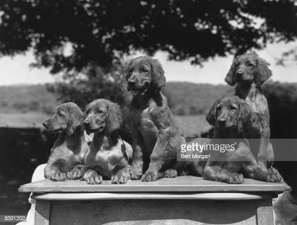 EXCLUSIVE Original caption reads 'Knightscroft Kennels New City New York Threemonthold Irish setter puppies' The litter of puppies is sitting on top...