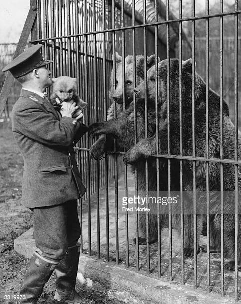 A zookeeper at Whipsnade Zoo holding a baby brown European Russian bear Its mother and aunt are in the cage