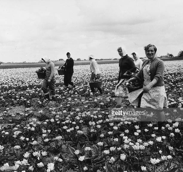 Picking tulip blooms in the Spalding bulb fields Lincolnshire