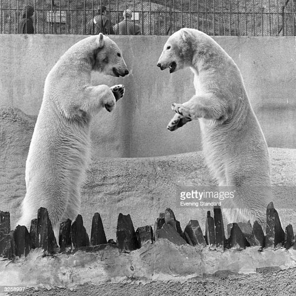 Male and female polar bear, called Sam and Sally, at London Zoo. The bears were brought from Moscow Zoo in 1960 and produced three cubs together, but...