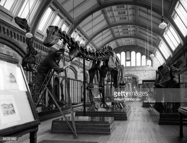 Cleaner dusting a prehistoric skeleton at the Natural History Museum in London.
