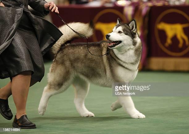 THE 133rd WESTMINSTER KENNEL CLUB DOG SHOW Working Dog Alaskan Malamute at The 133rd Westminster Kennel Club Dog Show