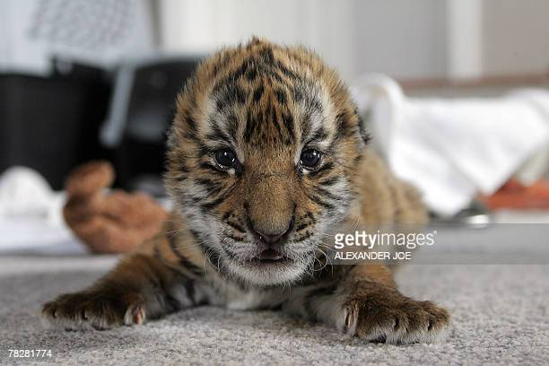 A 13dayold South China tiger cub is pictured in Philippolis 06 December 2007 The cub is the first of his species to be born in captivity outside of...