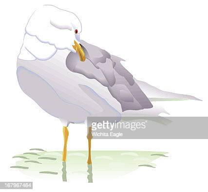 13px12p color illustration of Iceland gull