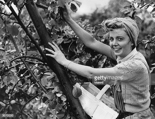 An employee of an Oxford Street store in London fruit picking at a farm near Pershore in Worcestershire
