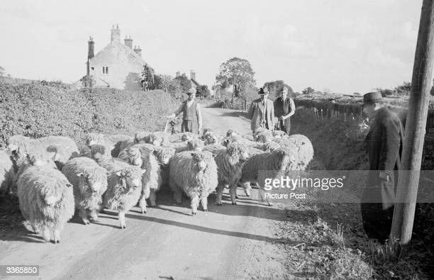 Soviet buyers V Chervinsky and A Galiarkin who are on a trip to buy English livestock to rebuild Russia's wardecimated herds survey a flock of sheep...