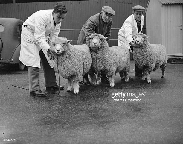 Prize winning sheep at the Ashford Cattle Show which has been revived after a lapse of ten years