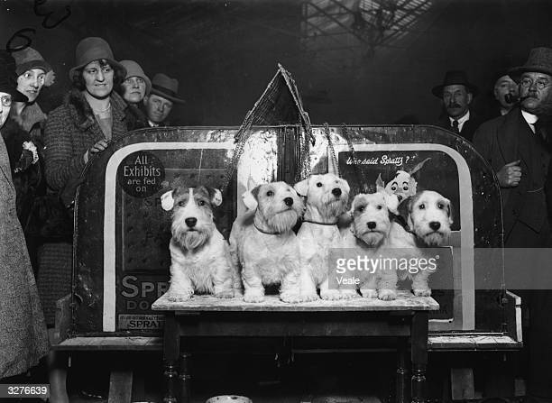 Merry party of prize winning Sealyham Terriers from the Eastfield Kennels at Bristol , seen here at Crufts Dog Show.