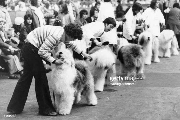 The judging of the Old English sheepdogs at Crufts dog show.