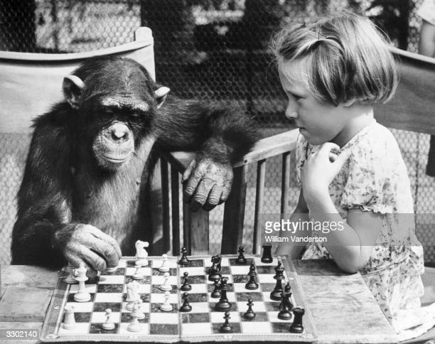 A young girl from Brighton plays a game of chess with Fifi the chimpanzee at London Zoo