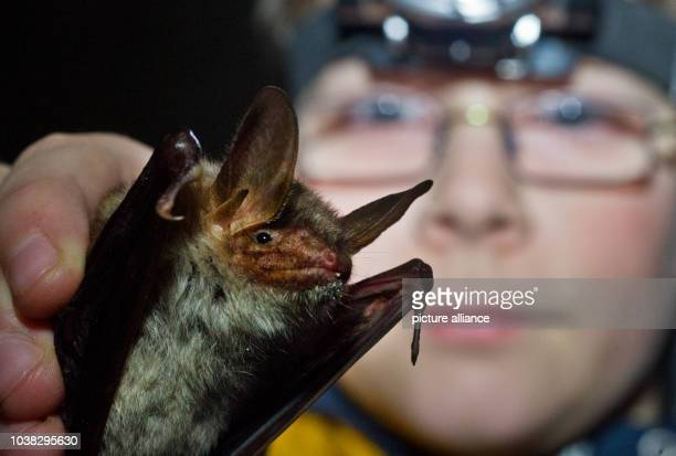 13yearold bat expert Tim Krauter holds a Greater mouseeared bat in the basement of the old brewery in Frankfurt Germany 17 January 2014 Equipped with...