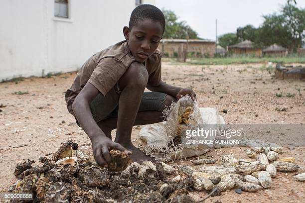 13yearold Prince Mpofu packs last year's harvest from the irrigated gardens for storage on February 7 2015 in the village of Nsezi in Matabeleland...