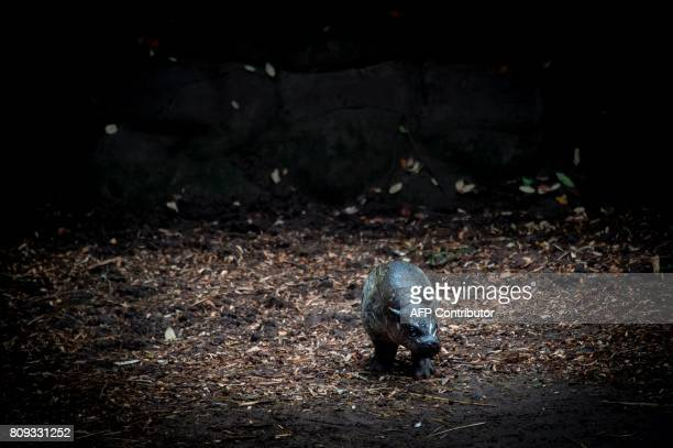 A 14dayold pygmy hippopotamus native to the forests and swamps of West Africa is presented to the press at the Buin Zoo in Buin about 50km south of...