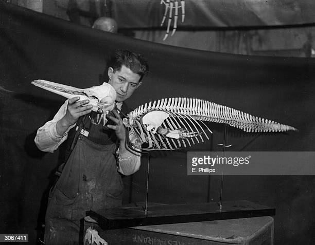 A man working on a dolphin skeleton in a taxidermists in Camden Town